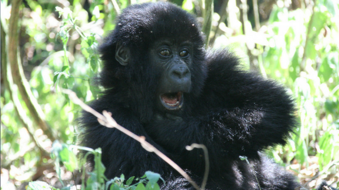 Gorilla from the Democratic Republic of Congo