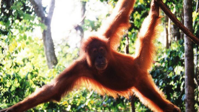 Orangutan at Bukit Lawang Indonesia
